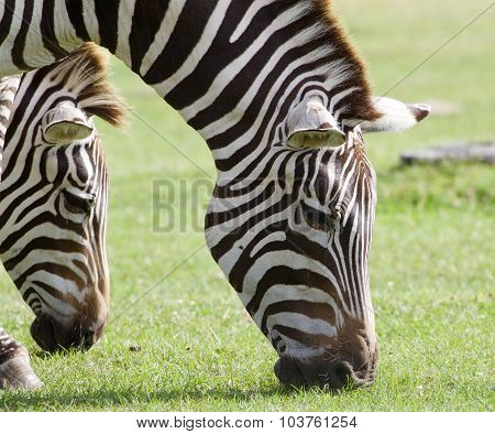 The Portrait Of The Zebras Eating The Green Grass