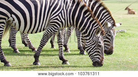 Beautiful Background With The Zebras