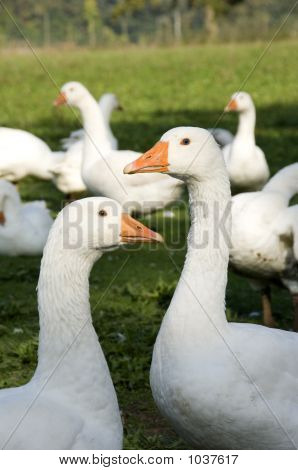 penetrating gazes of white domestic geese on a meadow *** Note, slight graininess, best at small sizes. poster