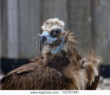 Background With The Unique Cinereous Vulture