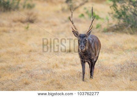 Japanese Deer Buck