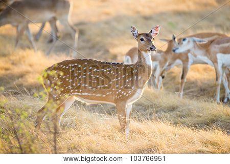 Chital Deer Doe