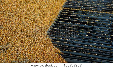 Harvested Corn Being Unloaded At A Grain Elevator