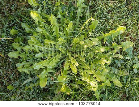 Leaves Of Dandelion, Weed In The Lawn Or Natural Salad