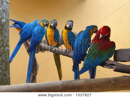 Seven Macaw Parrots