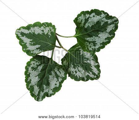 Yellow Archangel Leaf