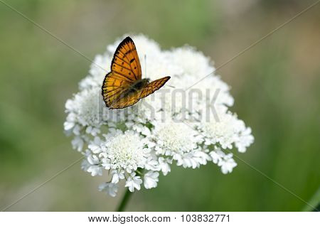 Common Copper butterfly male upperside on a white weed flower (Queen Anne's lace).