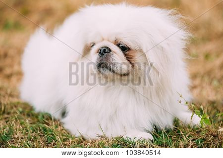 Close up portrait of young White Pekingese Pekinese.