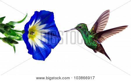 Hummingbird On White Background