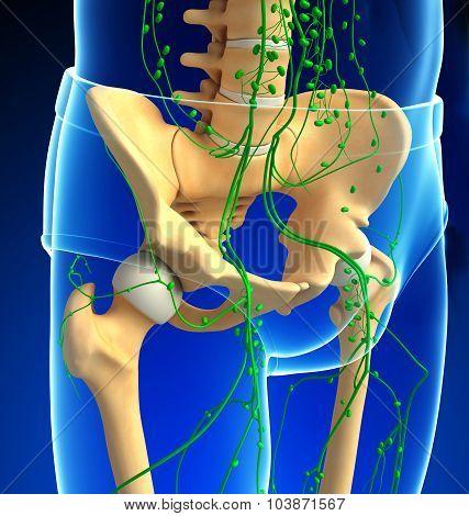 Lymphatic System Of Human Pelvic Girdle Skeleton Artwork