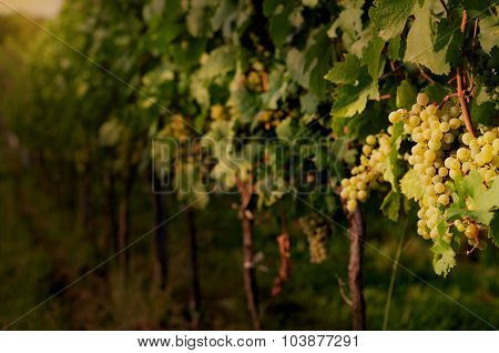 Ripe white grapes in dramatic light.