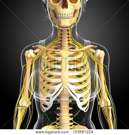 Nervous System Of Female Ribcage Artwork