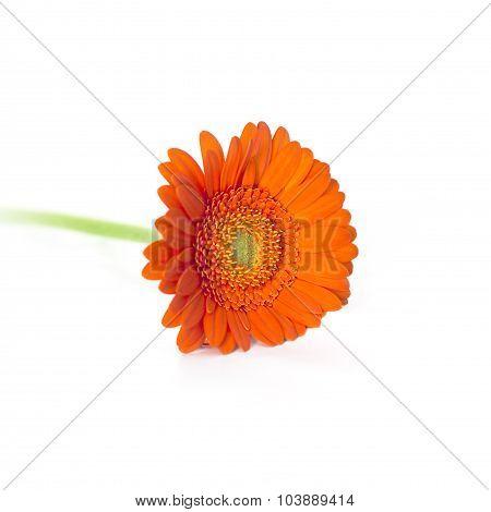 Orange Herbera