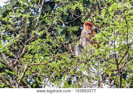 Proboscis Monkey Sitting In A Tree Top-malaysia