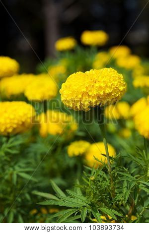 Closeup Of Marigold