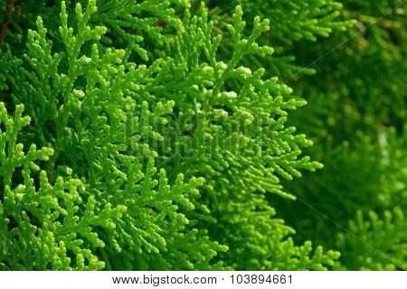 American Arborvitae (cypress Tree)