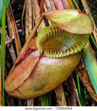 Exotic Flower Nepenthes-kinabalu, Borneo, Malaysia