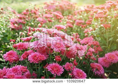 Beautiful chrysanthemum flowers, close-up, outdoors