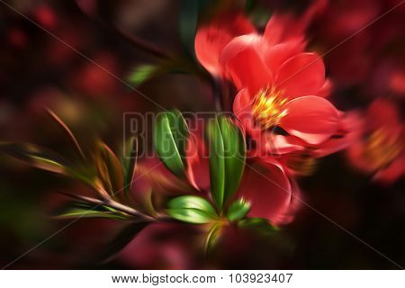 Red Flowering Quince