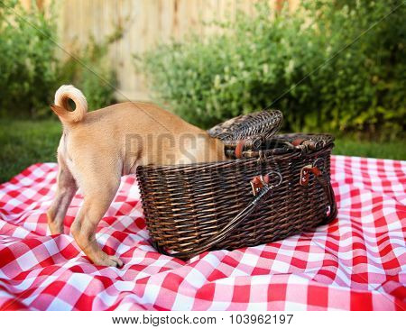 a cute baby pug chihuahua mix puppy looking into a wicker picnic basket and licking her face during summer maybe on the 4th of july holiday