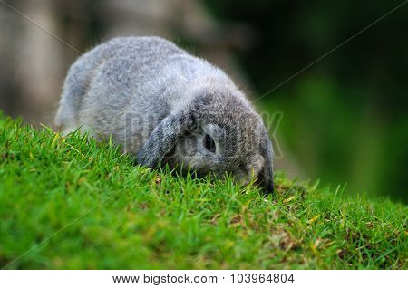 Holland Lop Rabbit on Grass