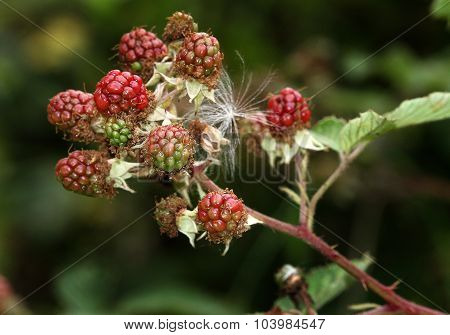 Bramble fruit in red state before ripening.