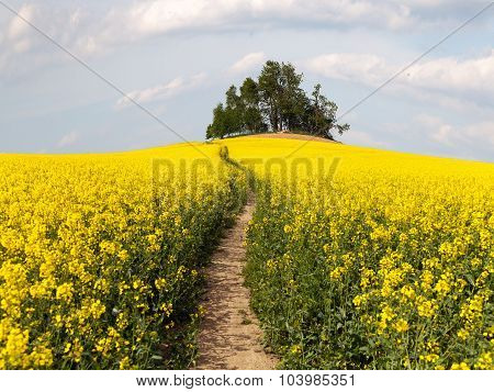 Field Of Rapeseed (brassica Napus) With Path Way