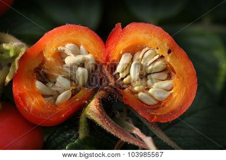 Rose hips on plant.