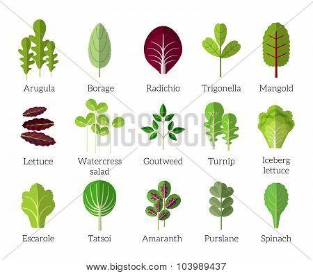 Salad ingredients. Leafy vegetables vector flat icons set