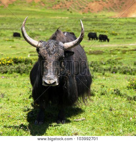 Yak - Bos Grunniens Or Bos Mutus - In Langtang Valley