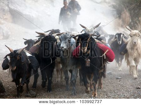 beautiful caravan of goats in western Nepal with goods going from Simikot area poster