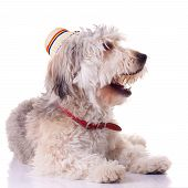 bearded collie puppy with mouth open and wearing a traditional hat poster