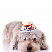 sad bearded collie puppy seated on a white background wearing a traditional hat poster
