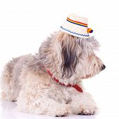 bearded collie puppy seated on a white background wearing a traditional hat poster