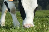 close up of a cow grazing in the field poster