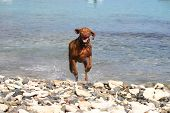 weimaraner dog running out of the water on beach rocks and coral poster