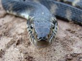 macro shot of banded water snake as it is watching the camera or rather me. poster