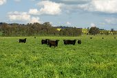 Cattle standing in a lush field in farmland near Cootamundra New South Wales Australia poster