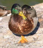 Mallard Duck standing on one leg poster