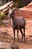 Desert Big Horn Ram Sheep in Utah's Zion National Park poster
