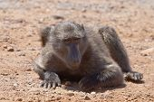 Young male Chacma baboon grubbing for food on stony ground at Cape Point Nature Reserve. poster