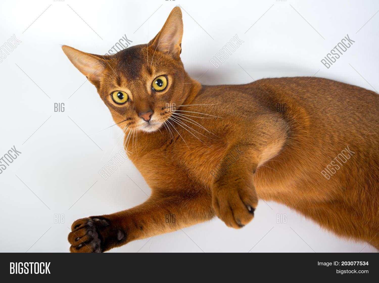 Abyssinian Cat White