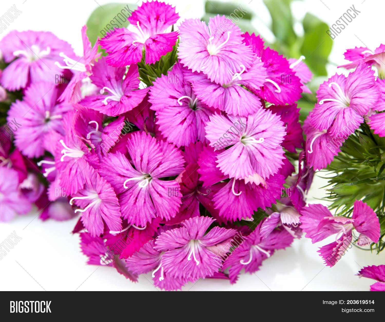 Dianthus Barbatus Image Photo Free Trial Bigstock