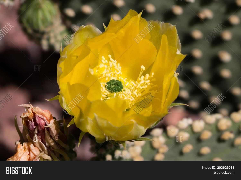 Yellow Cactus Flower Image Photo Free Trial Bigstock