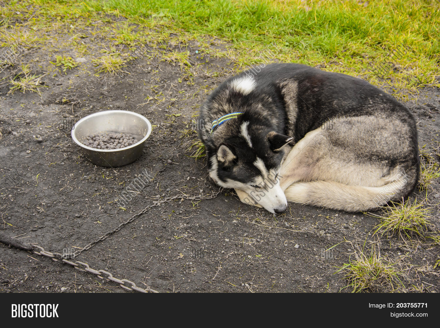Husky Dogs Food Chain Www Topsimages Com