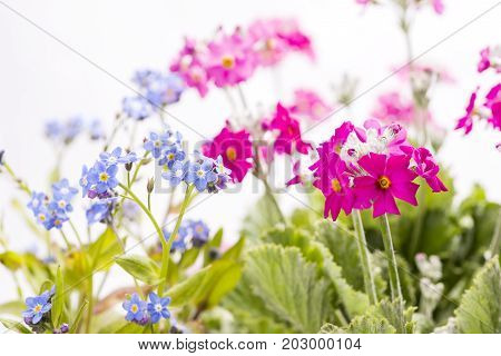 Blue Forget-me-not flowers and pink Primula flowers in front of white background
