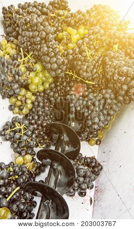 Bunches of grapes in vine press. Vintage theme. Autumn harvest. Yellow sun rays.
