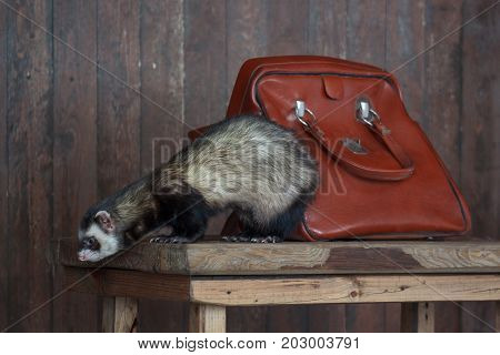 The ferret is sitting on a wooden desk. Pet animals.