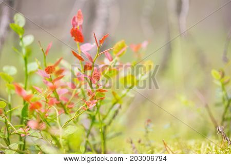Autumn bush of blueberries. A plant with red leaves lit by the sun. Close-up selective focus free space on the right.