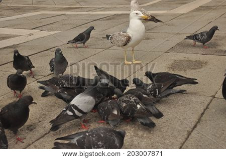 Pigeons donated to St. Mark's Square in Venice